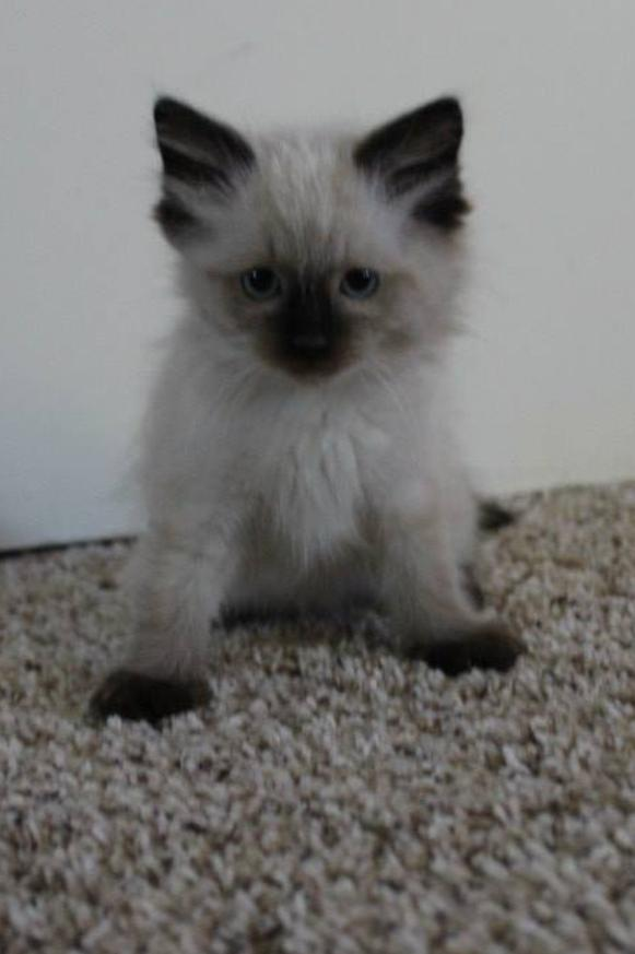 ragdoll-kittens-colorado